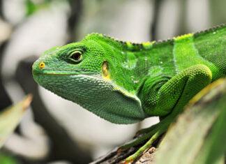 prasino iguana