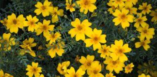 λουλούδια κίτρινα όλο το χρόνο